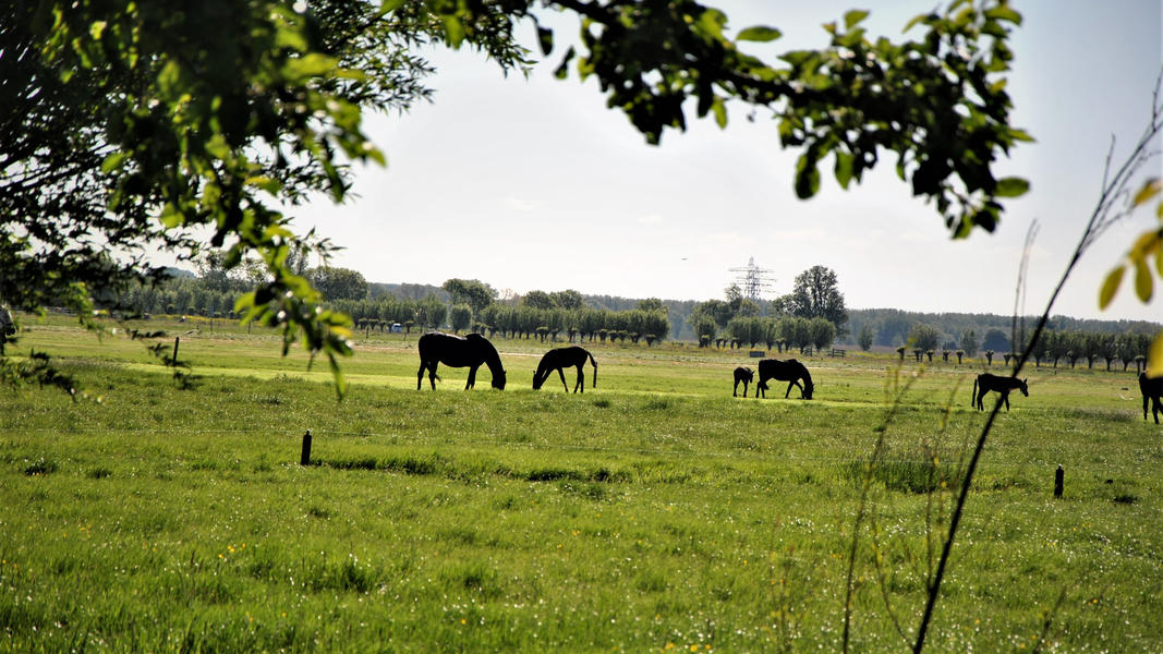Camping between cows and horses in the 'central park' of the Randstad #18