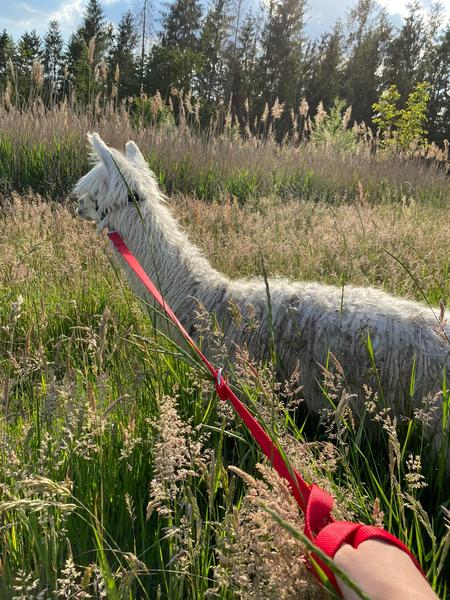 Lovely camping close to our Alpacas in a quiet environment. #1