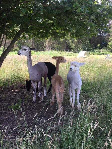 Lovely camping close to our Alpacas in a quiet environment. #2