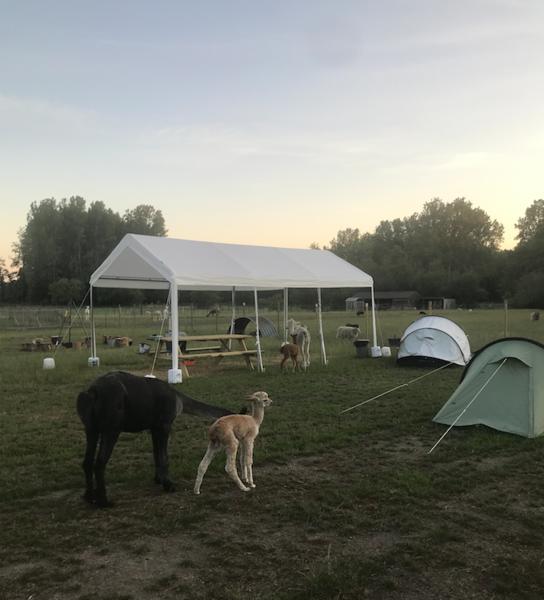Camping Alpaca #14