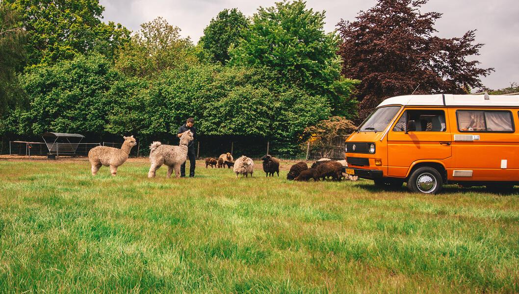 Camping Alpaca #9