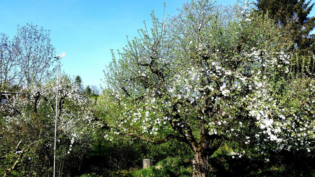 Sleep on the Cherry Tree (Blossom) Trail #5