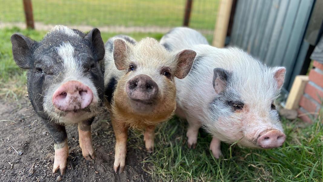 Genieten in een pipowagen met uitzicht op de varkens en geiten! #5