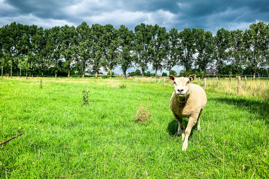 Among the sheep near the Loonse and Drunense Duinen #4